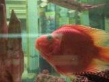 Золотые рыбки целуются